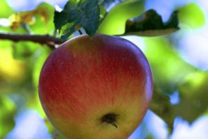la pomme est bonne pour le coeur